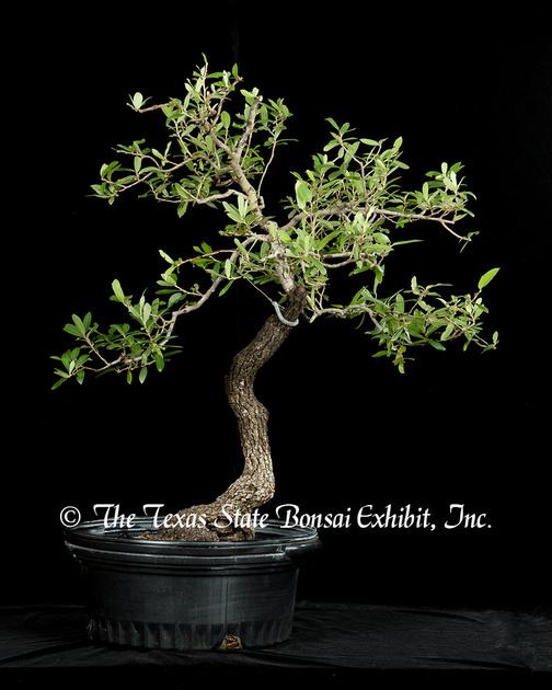 Quercus (2015-06-21)