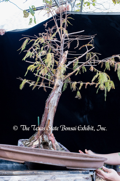 Bald Cypress donated by Graham estate