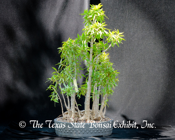#81E Narrow Leaf Ficus