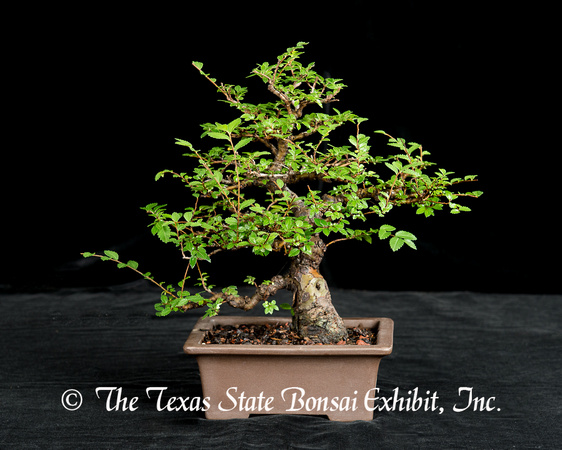 Chinese Elm (2015-06-21)